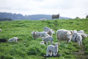 Sheep bucket credit Derrick Story